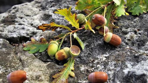 Листья дуба лечебные свойства. Дуб