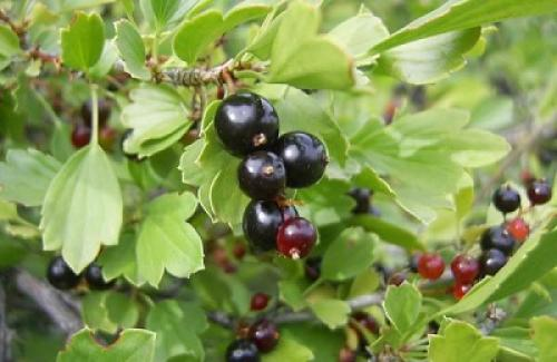 Черная смородина дикая. Общие характеристики и разновидности реписа