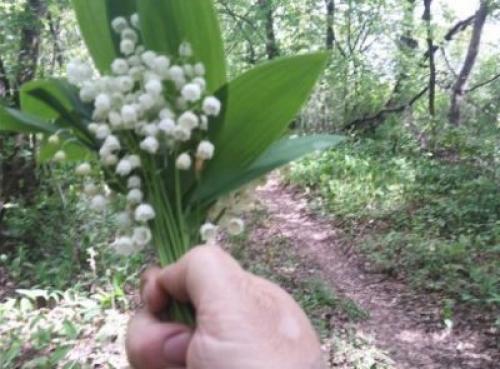 Когда можно пересаживать ландыши. Как посадить цветок, чтобы он прижился и расцвел?
