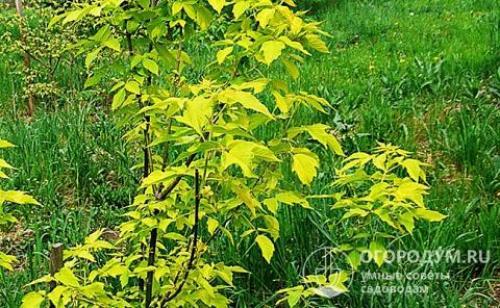 Как убрать с огорода клен. Клен американский: агрессивный древесный сорняк или декоративная находка