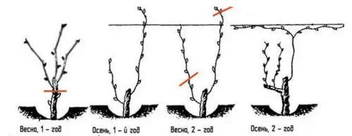 Как обрезать виноград в первый год после посадки. Формирование куста в первые годы жизни
