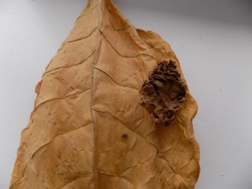 Табак, как заготовить. Что такое ферментация?