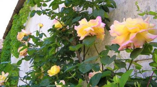 Розы клайминги сорта. Плетистая роза Клайминг : разновидности сорта и их особенности