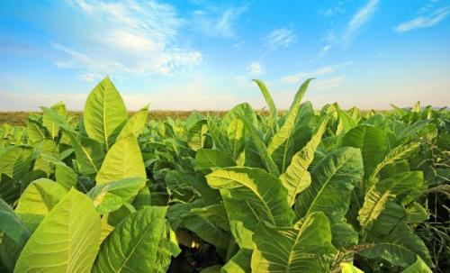 Когда созревает табак, какие листья должны быть цветом. Когда собирать табак и как его правильно сушить