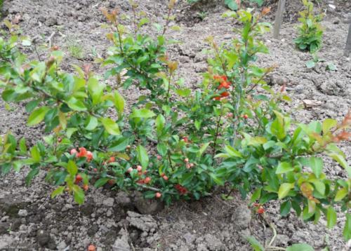 Почва для японской айвы. Условия выращивания хеномелеса японского