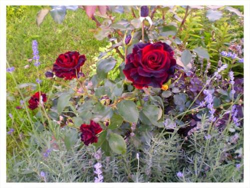 Соседи для розы. Полезные соседи для роз