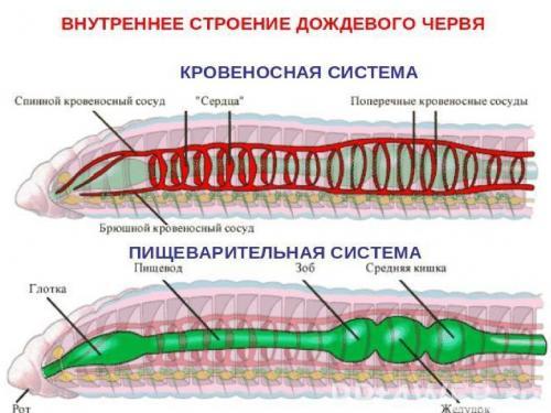 Что привлекает дождевых червей. Почему земляных червей назвали дождевыми