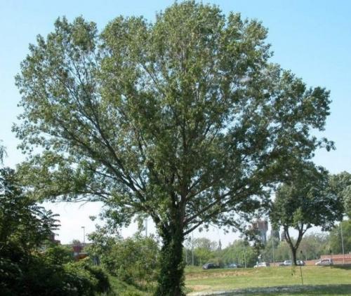 Что такое тополь черный. Черный тополь-осокорь. Свойства древесины. Полезные свойства