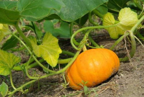 Когда собирают урожай тыква. Когда собирать урожай тыквы: признаки и сроки созревания