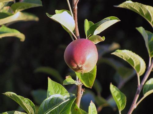 Как осенью обрезать яблоню и грушу. Обрезка яблони осенью