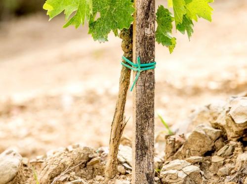 Посадка и обрезка винограда. Посадка винограда и последующий уход за ним