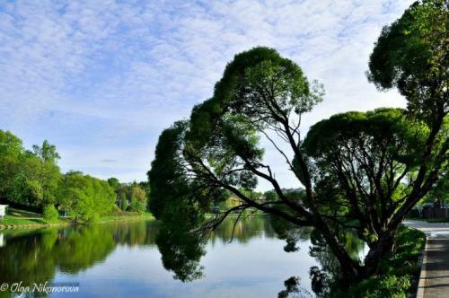 Тальник дерево, как выглядит. Виды и сорта ивы