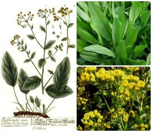 Бальзамические растения это. КАНУФЕР / Tanacetum balsamita