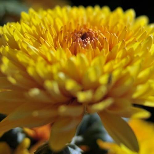 Сорта хризантем ранние. Виды и сорта хризантем: каталог с названиями и фото