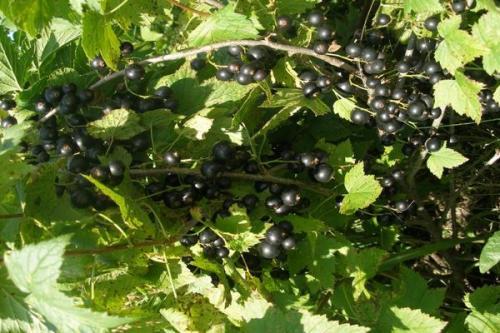 Черная смородина сорт валовая. Черная смородина Валовая: описание сорта и характеристика