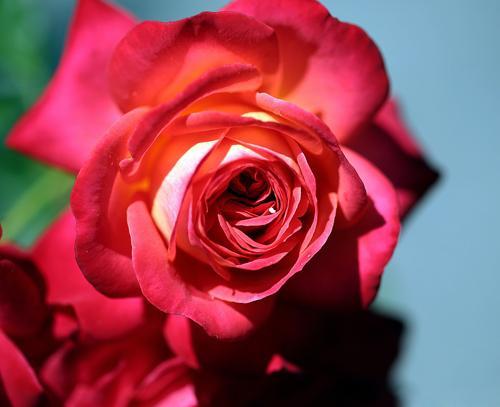 Роза плетистая мидсаммер посадка и уход. История и описание