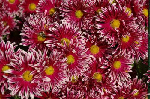 Хризантемы ранние сорта. Характеристики многолетних хризантем