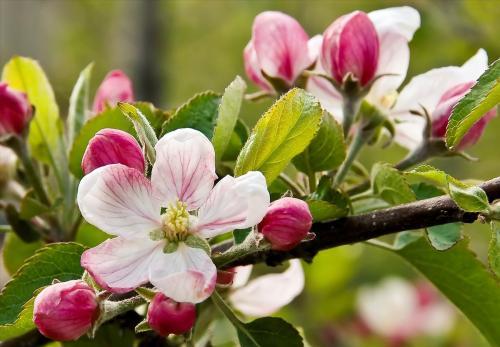 Подкормка яблонь весной мочевиной. Чем удобрять яблоню весной