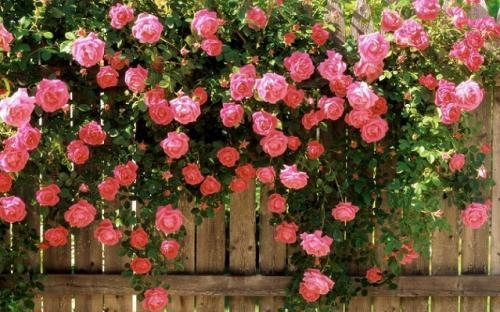 Как называется роза коричневого цвета. Розы (39 фото): Сорта роз с фото и названиями сорта