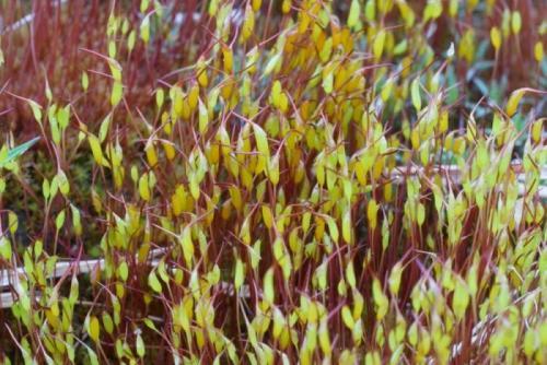 Размножение кукушкин лен. Мох кукушкин лён: строение и размножение растения