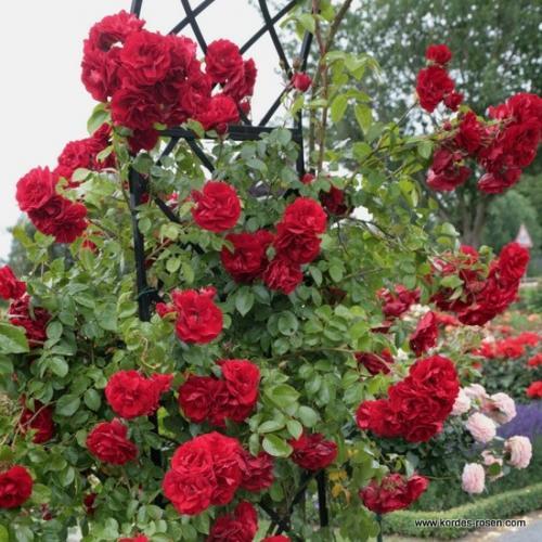 Конский навоз для роз. Что хочет роза