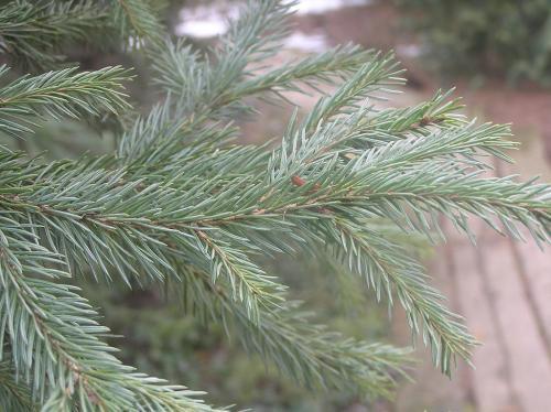Ель сибирская (Picea abies v. obovata)