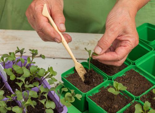 Нужно ли обрывать нижний лист у капусты. Когда нужно обрывать нижние листья у капусты и можно ли это делать