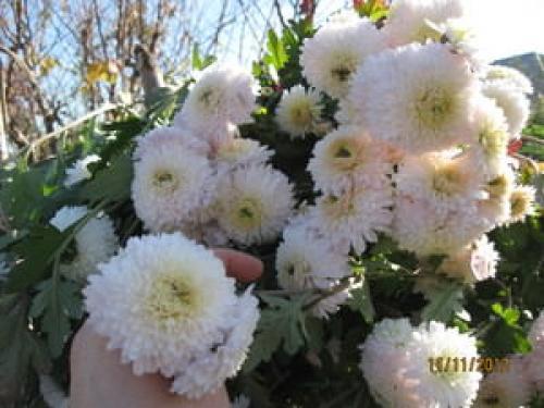 Дубки цветы уход. Способы размножения растений