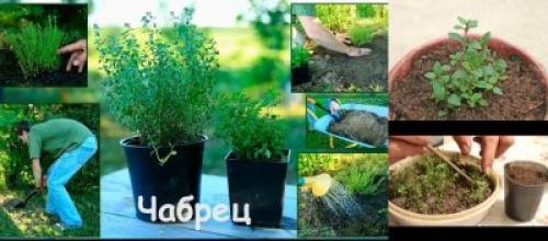 Тимьян выращивание на даче. Варианты выращивания на даче