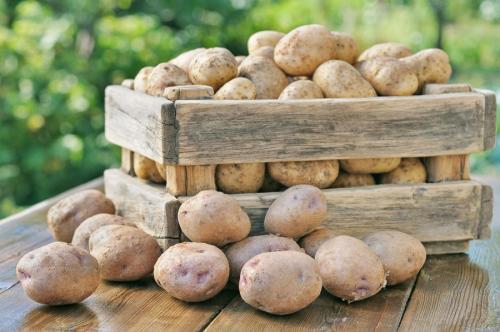 Картофель сколько дней растет. Сколько растет картофель: сроки сбора урожая