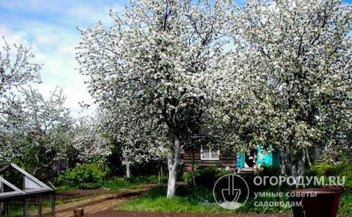 Яблони устойчивые к парше для средней полосы. Особенности региона
