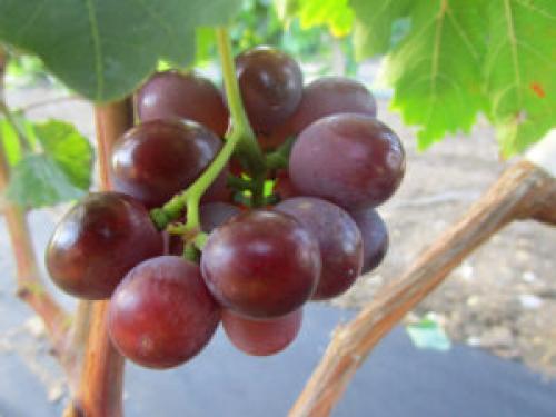 Виноград сеня описание сорта. Особенности сорта