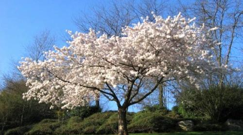 Какие есть вишню. Какой бывает вишня и как ее выращивать?