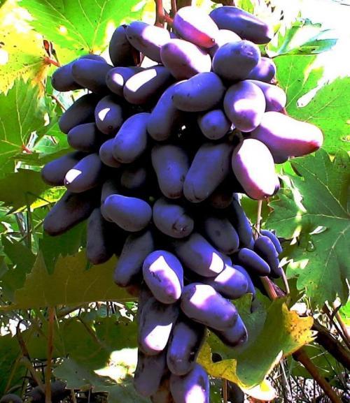 Сорта винограда по алфавиту. Все сорта винограда: для Черноземья, неприхотливые, для средней полосы России, не укрывные и самые вкусные, рейтинг ТОП-20 с фото