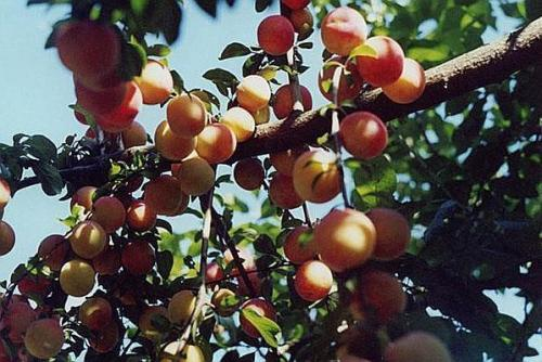 Лучшие сорта абрикоса для подмосковья самоплодные низкорослые. Критерии выбора сорта